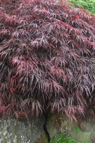 Inaba Shidare Red Japanese Maple - 2 Gallon Pot