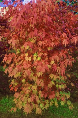 Orange Flame Japanese Maple - 2 Gallon Pot
