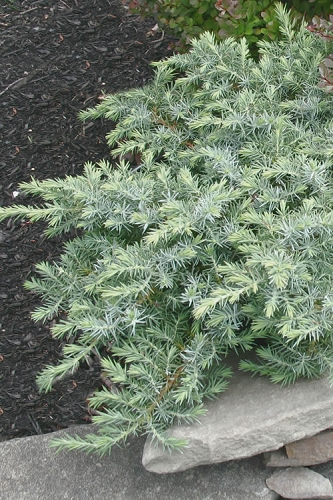 Silver Mist Juniper - 1 Gallon Pot