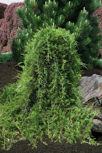Weeping Virginia Juniper - Juniperus virginiana 'Pendula' - 3 Gallon Pot