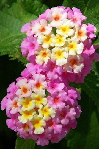Chapel Hill Pink Huff Hardy Lantana - 3 Pack of Quart Pots