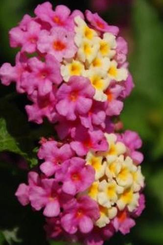 Buy Hardy Lantana Plants For Sale Online From Wilson Bros Gardens