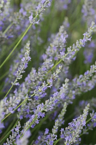 Provence Lavender - 1 Gallon Pot