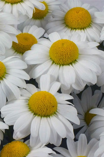 Darling Daisy Shasta Daisy (Leucanthemum) - 5 Pack of Quart Pots