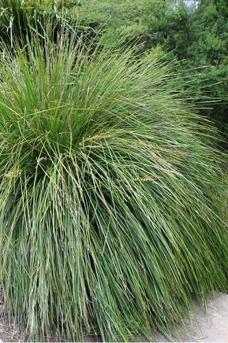 Breeze Lomandra - 2.5 Quart