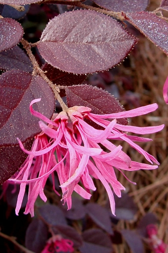 Crimson Fire Loropetalum - Dwarf Chinese Fringeflower - 1 Gallon