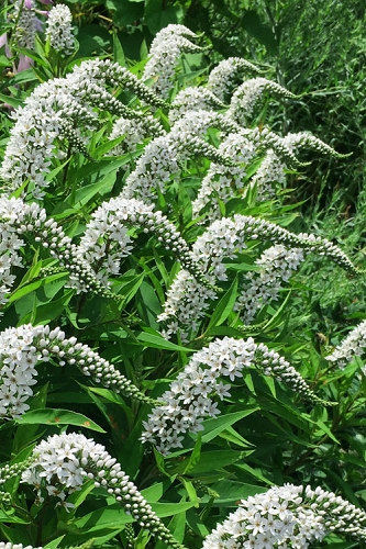 Gooseneck Loosestrife (Lysimachia clethroides) - 1 Gallon Pot