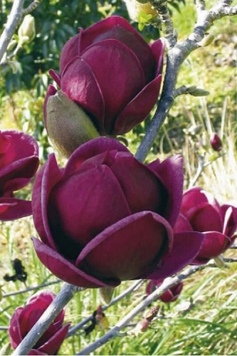 Genie Magnolia Tulip Tree - 5 Gallon Pot