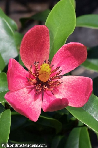 Stellar Ruby Magnolia x Figo - Banana Shrub Hybrid - 1 Gallon Pot
