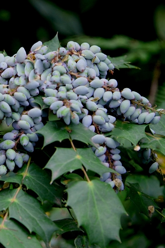 Grapeberry Leatherleaf Mahonia - 3 Gallon Pot