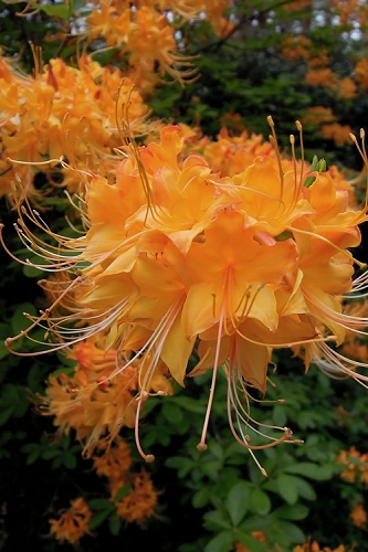 Escatawpa Florida Flame Native Azalea (Rhododendron austrinum) - 3 Gallon Pot