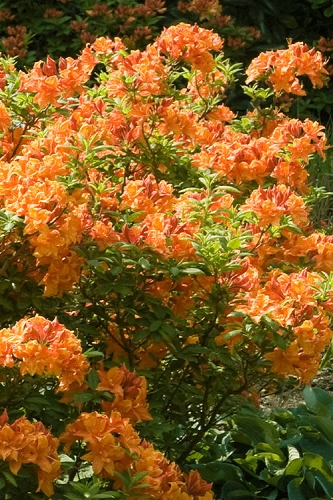 Nancy's Orange Native Azalea - Rhododendron flammeum x calendulaceum - 3 Gallon Pot