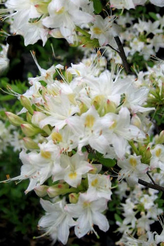 Pete McNees White Native Azalea - Rhododendron albamanense - 3 Gallon Pot