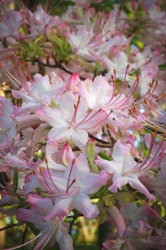 Pink Alabama Native Azalea - Rhododendron - 3 Gallon Pot