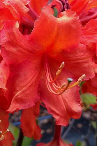 Robert E. Lee Native Azalea (Rhododendron) - 1 Gallon Pot