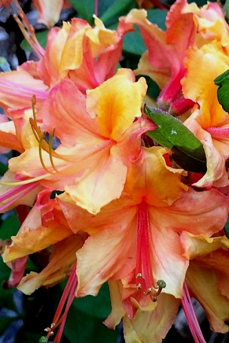 Tallulah Sunrise Native Azalea (Rhododendron) - 3 Gallon Pot
