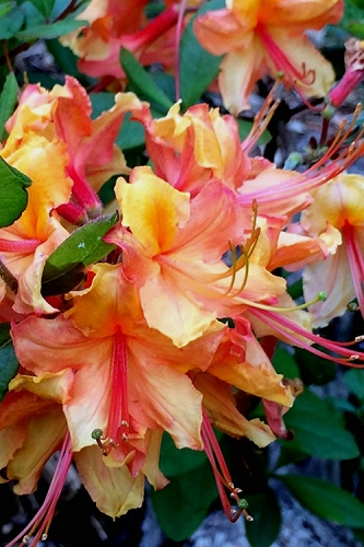 Tallulah Sunrise Native Azalea (Rhododendron) - 1 Gallon Pot