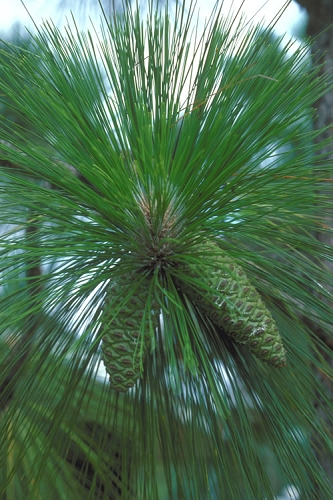 Southern Yellow Long Leaf Pine Tree - Pinus palustris - 3 Gallon Pot