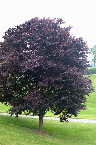 Newport Purple Leaf Flowering Plum Tree - 2 Gallon Pot