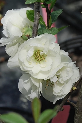 O Yashima Double Flowering White Quince - 3 Gallon Pot