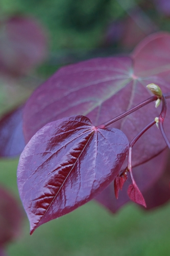 Forest Pansy Purple Leaf Eastern Redbud Tree - 5 Gallon Pot