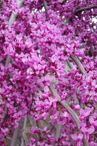 Lavender Twist Weeping Redbud Tree - 5 Gallon Pot