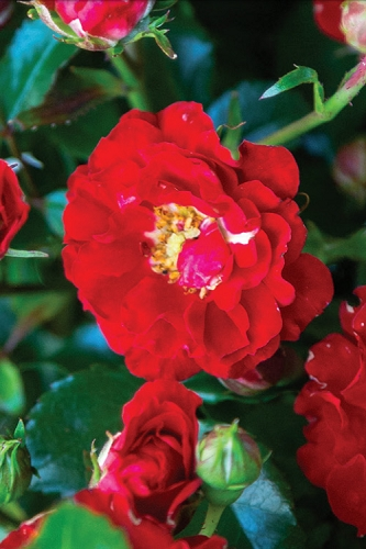 It's A Breeze Groundcover Rose  - 3 Gallon Pot - ON SALE!