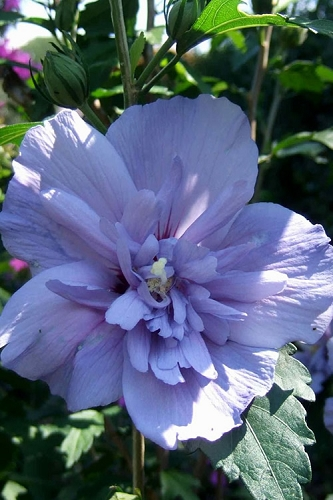 Blue Chiffon Rose of Sharon - 2 Gallon Pot