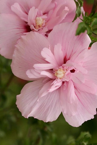 Pink Chiffon Rose of Sharon - Hibiscus syriacus - 2 Gallon Pot