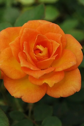 Sunrosa Orange Delight Dwarf Shrub Rose - 1 Gallon Pot