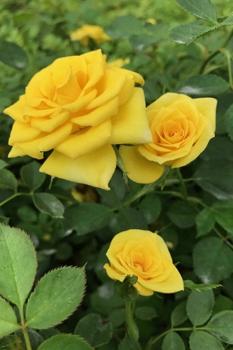 Sunrosa Yellow Dwarf Shrub Rose  - 1 Gallon Pot