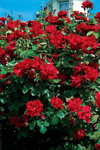 Winner's Circle Red Climbing Rose - 3 Gallon Pot