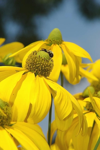 Rudbeckia 'Herbstsonne' (Autumn Sun Coneflower) - 1 Gallon Pot