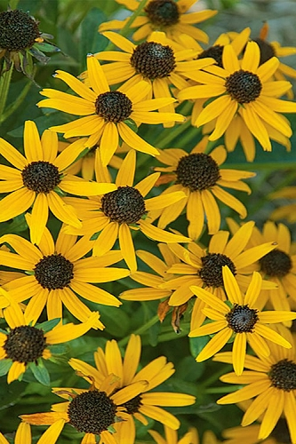 Little Gold Star Rudbeckia (Black-Eyed Susan) - 1 Gallon Pot