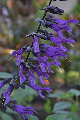 Purple Majesty Salvia (Salvia guaranitica) - 1 Gallon Pot