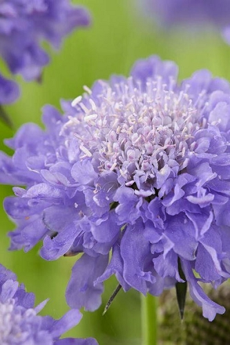 Butterfly Blue Pincushion Flower (Scabiosa) - 1 Gallon Pot