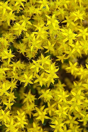 Gold Moss Sedum - 10 Count Flat of Quart Pots