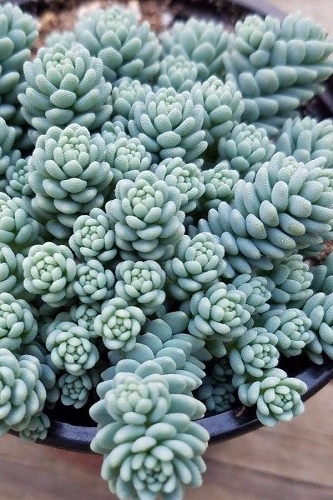 Blue Tears Sedum (Corsican Stonecrop) - 10 Count Flat of Quart Pots