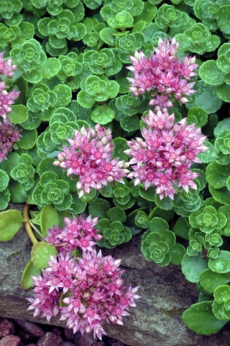 John Creech Sedum - 10 Count Flat of Quart Pots