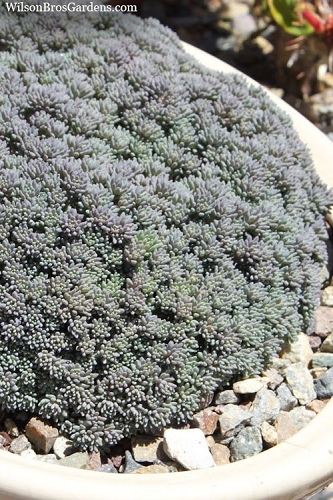 Tiny Buttons Sedum - 5 Count Flat of Quart Pots