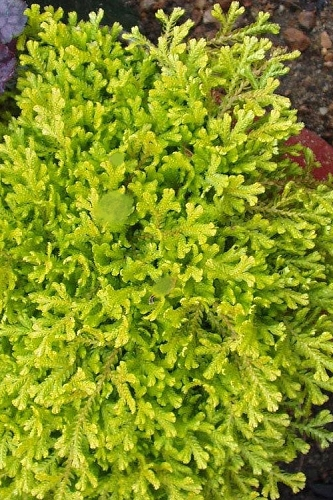 Golden Spikemoss (Selaginella kraussiana 'Aurea') - 5 Pack of Quart Pots