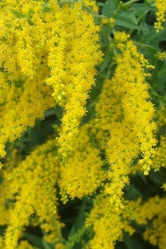 Fireworks Goldenrod (Solidago) - 1 Gallon Pot