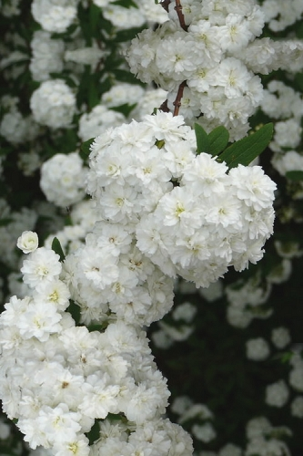 Double Reeves Bridal Wreath Spirea - 6 Pack of 1 Gallon Pots