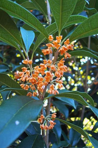 Apricot Echo Tea Olive - Osmanthus fragrans aurantiacus - 3 Gallon Pot