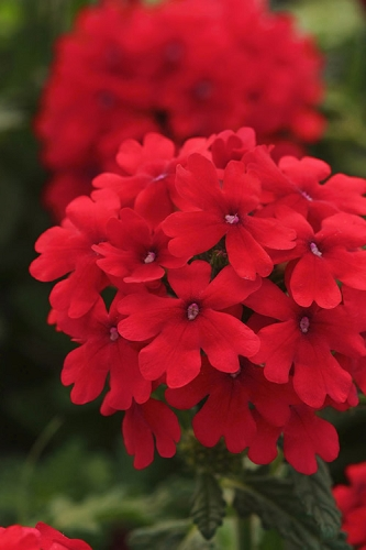 EnduraScape Red Verbena - 5 Pack of Pint Pots