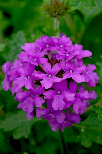 Homestead Purple Hardy Verbena - 5 Pack of Pint Pots