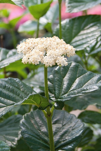 All That Glows Arrowwood Viburnum - 2 Gallon Pot - SALE!