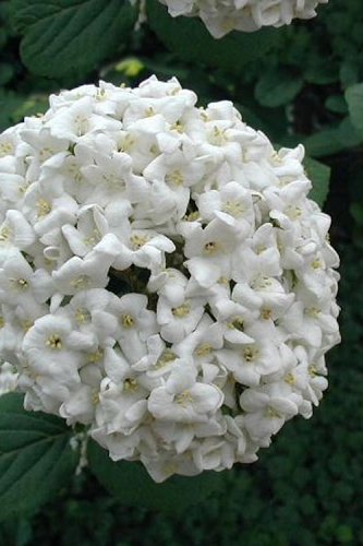 Fragrant Snowball Viburnum carlecephalum - 3 Gallon Pot