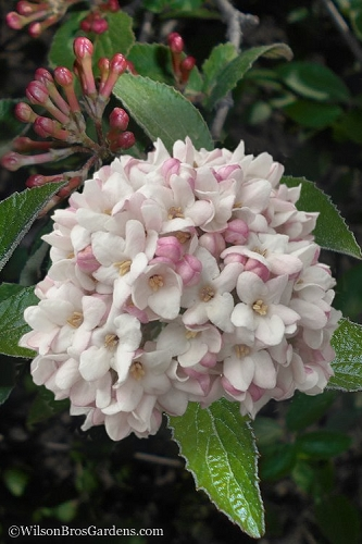 Juddi Fragrant Snowball Viburnum - 2 Gallon Pot