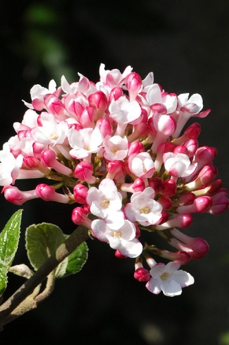 Fragrant Mohawk Viburnum burkwoodi - 1 Gallon Pot